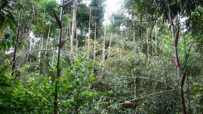 Bambu crescendo no interior da floresta