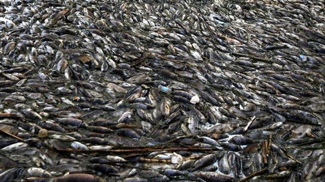 منظمة الصحة العالمية: المعادن الثقيلة والأمونيا وراء نفوق الأسماك في العراق