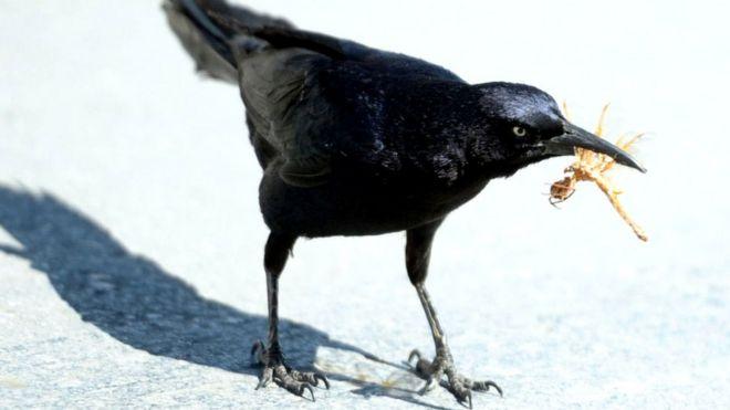 Вороны пользуются ветками и сучками, чтобы извлекать насекомых и червей из стволов деревьев