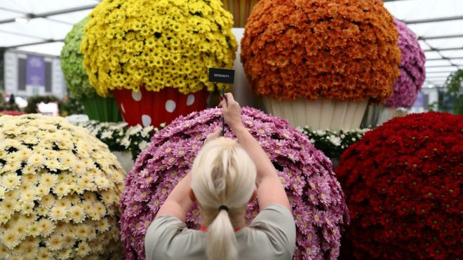 An exhibitor prepares a display by the National Chrysanthemum Society