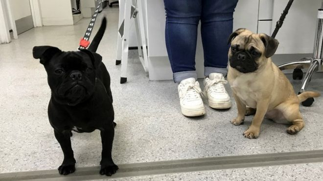 RSPCA's pet owner plea after pugs thrown from car in Wrexham