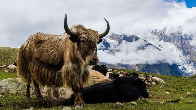 'Tragédia' quando 300 yaks morrem de fome presos pela neve na Índia