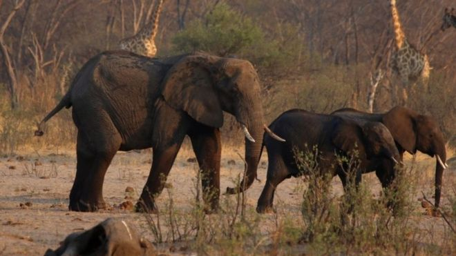Elephants in the Hwange National Park