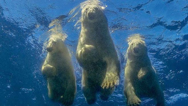 Three polar bears in the Hudson Bay