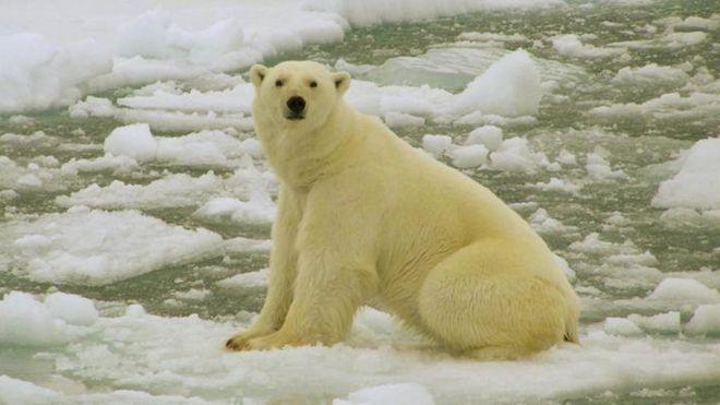 Polar bear in Barents Sea - archive photo