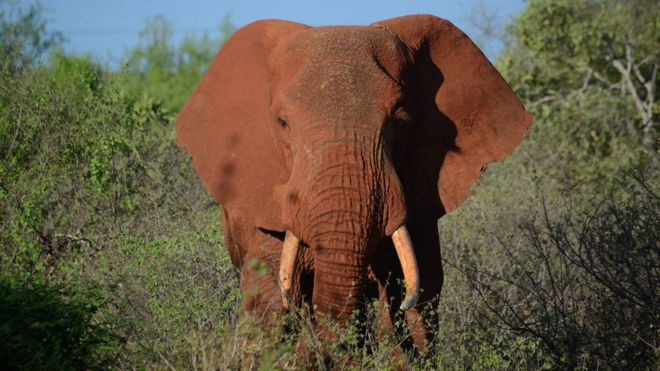 Chinas Ban On Ivory Trade Comes Into Force Bbc News