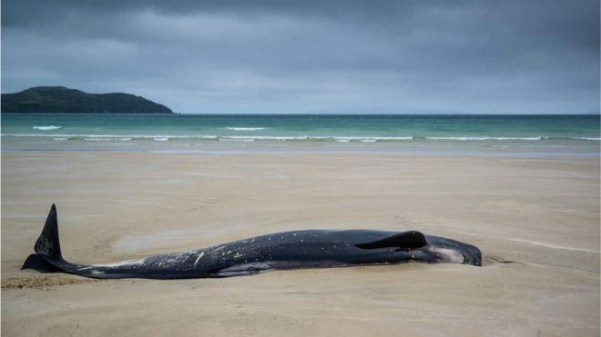 Baleia-piloto encalhada na areia no dia seguinte pela manhã