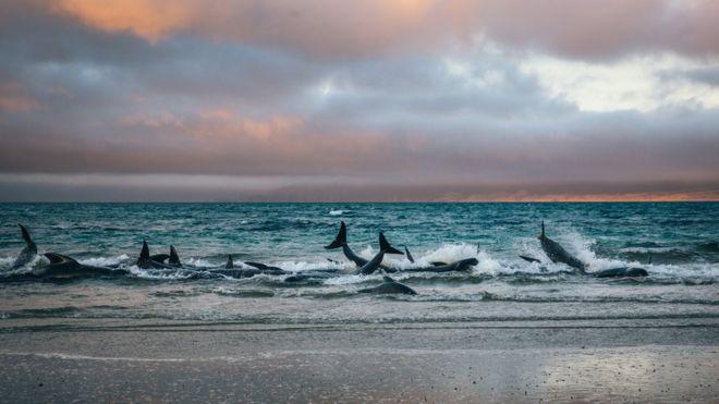 Baleias-piloto encalhadas nas águas rasas de uma praia remota na ilha Stewart, na Nova Zelândia, durante o pôr do Sol