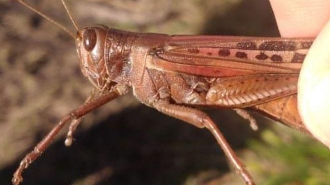 Gafanhoto da espécie Schistocerca cancellata localizado na Argentina, em meio à nuvem de insetos