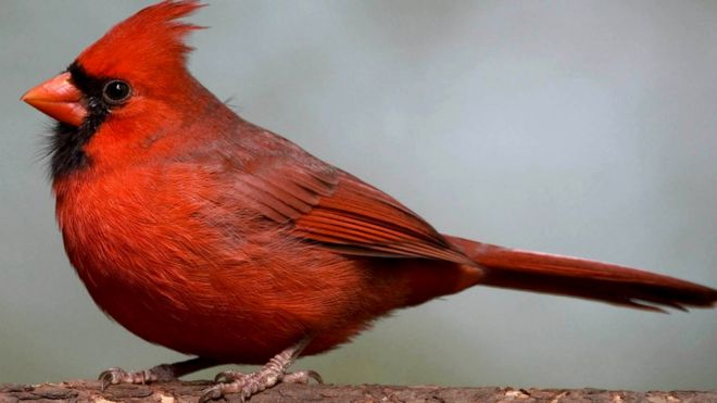Two Studies Find One Gene For Red Beaks And Feathers Bbc News