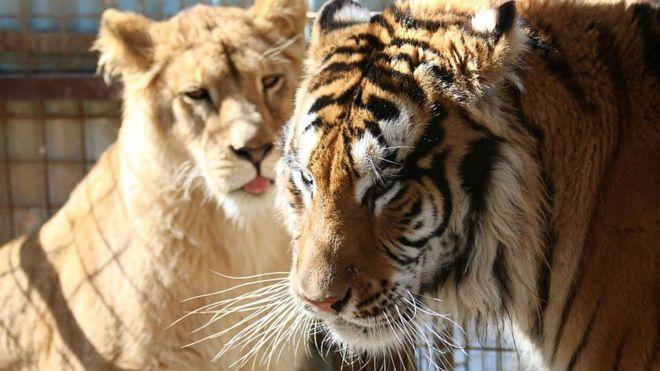 """Результат пошуку зображень за запитом """"Із зоопарку втекли леви, тигри та ягуари"""""""