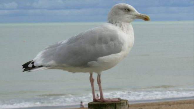 scare birds idea to tackle denbighshire seagulls bbc news