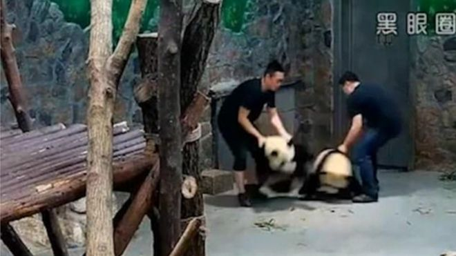 SHOCKING: Two giant panda dragged, thrown by keepers in China