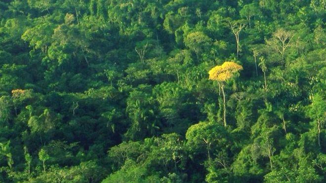 Ipê amarelo na Terra Indígena Kayapó, no Pará