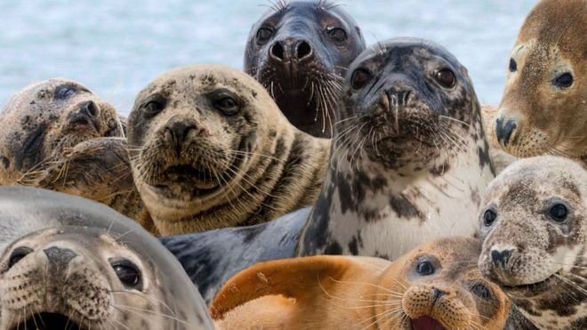 scottish officials sought seal shooting ban exemption bbc news
