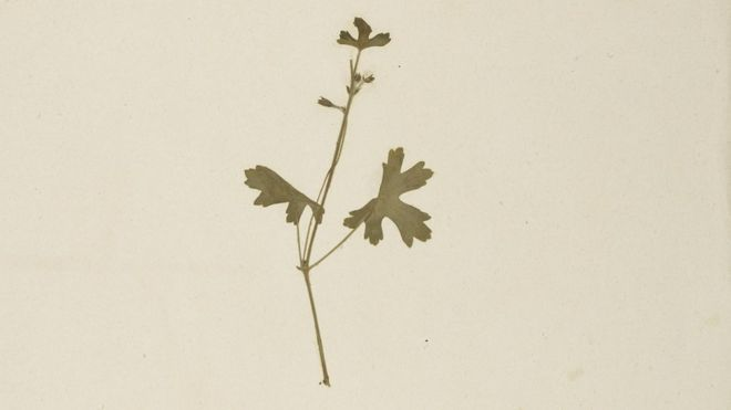A specimen of Pelargonium