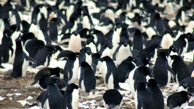 Nesting Adélie penguins, Danger Islands, Antarctica