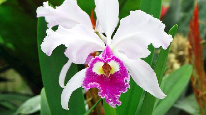 flor nacional de Colombia (Cattleya trianae)