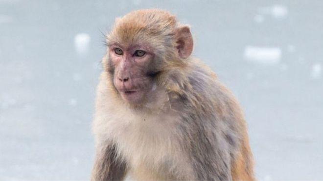 Monos Rhesus tuvieron resultados alentadores en pruebas de ensayo de vacunas contra el coronavirus.