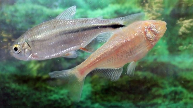 The Mexican tetra fish