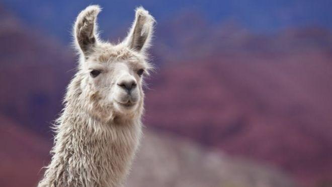 هل يساعدنا حيوان اللاما في القضاء على الأنفلونزا؟