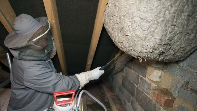 colossal wasp nest found in corby attic bbc news