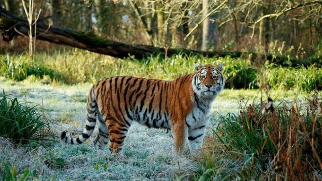 Тигрица Шоури