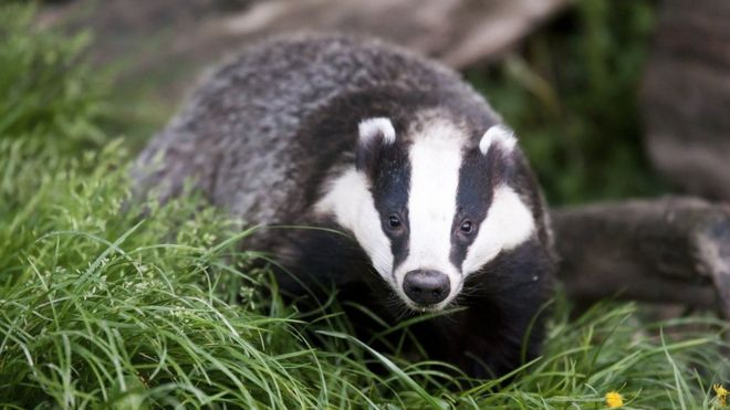 https://ichef.bbci.co.uk/news/660/cpsprodpb/15864/production/_88346188_badger.jpg