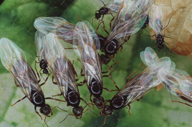 Flying ants: Swarms appear on weather map as 'rain' - BBC News