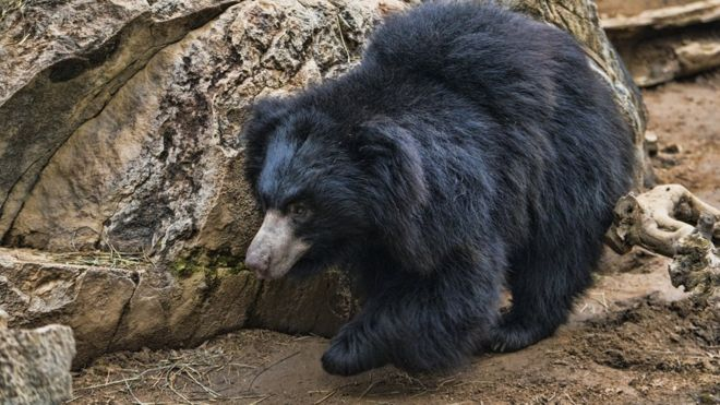 A sloth bear in an enclosure