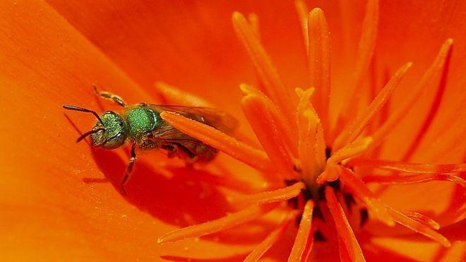 Sweat bee, tipo de abelha que é atraída por suor e lágrimas humanas, aparece na imagem pousada em uma flor