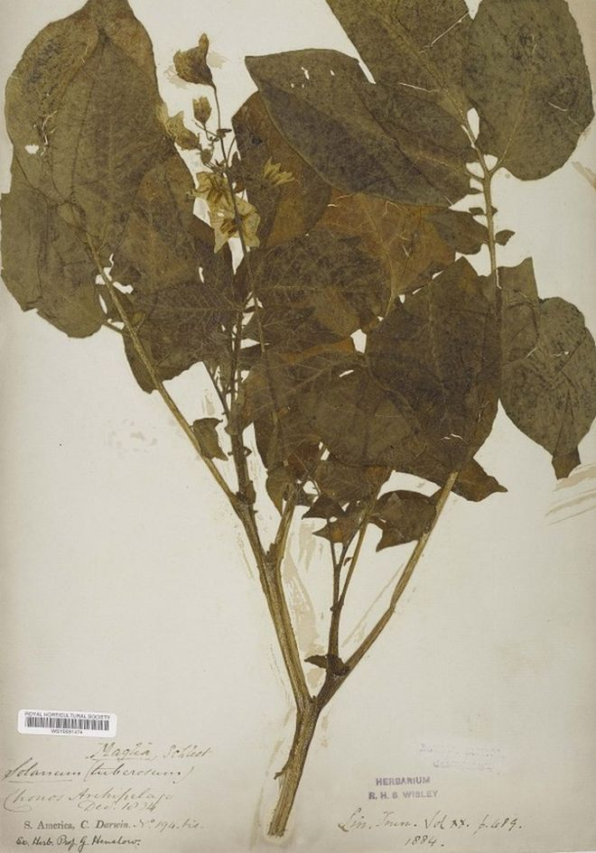 A Chilean potato plant brought back by Charles Darwin in 1835