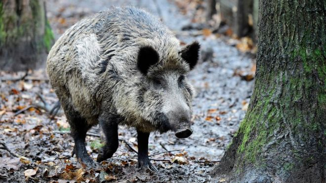 berlin pensioner caught hunting forest boar with an axe bbc news