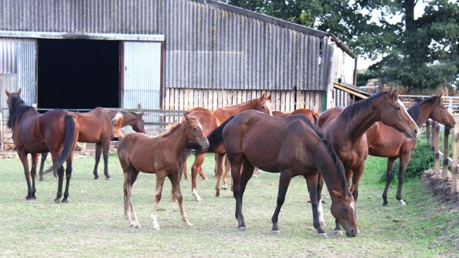 Pregnant horses and foal rescued from slaughter after stud hits money problems
