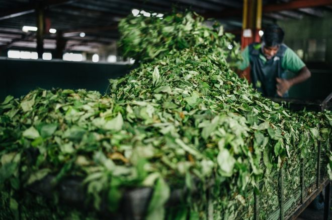 A worker places tea leaves into a machine