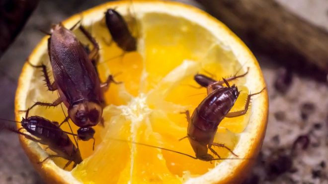 Cucarachas comiendo naranja