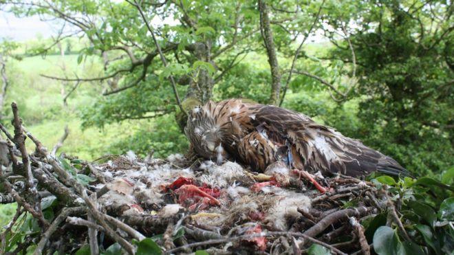 Красный змей погиб на гнезде, найденном за пределами Кейтсбриджа