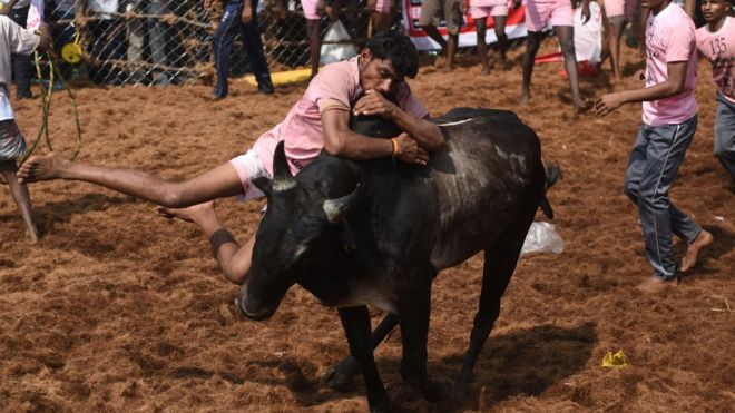 in this photograph taken on January 15, 2018, Indian participants try to control a bull during the annual 'Jallikattu' bulltaming festival in the village of Palamedu on the outskirts of Madurai.