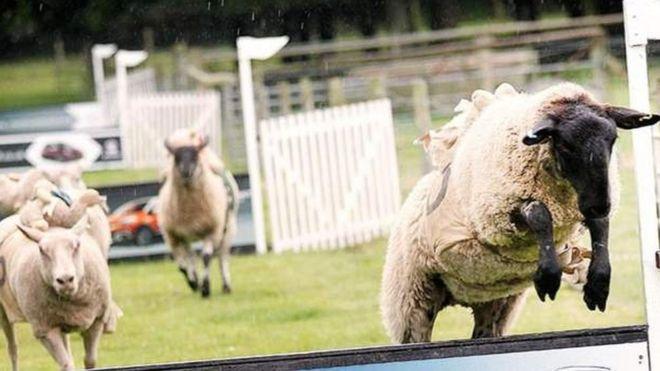 Hoo Farm sheep racing axed after animal rights petition - BBC News