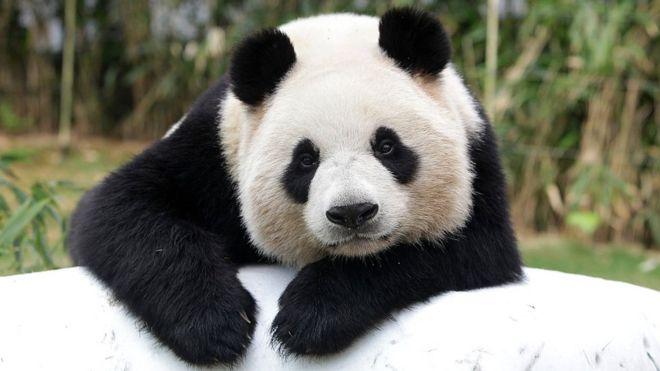 how did china save the giant panda bbc news