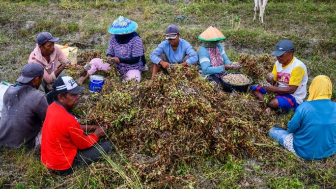 在印度尼西亞中部蘇拉威西省收穫花生後,農場工人將花生從莖中分離出來。