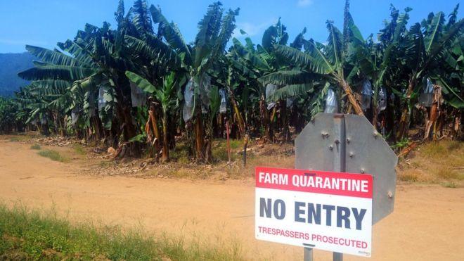 Plantação de banana com sinal de quarentena