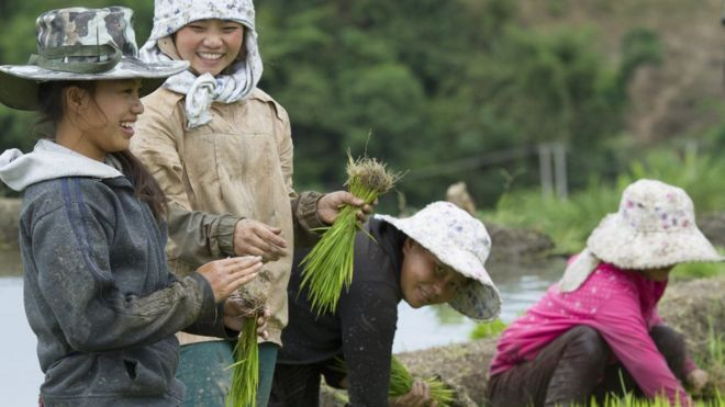 Thị trường gạo vì thế vẫn như thời bao cấp, doanh nghiệp nhà nước độc quyền thu mua và xuất cảng