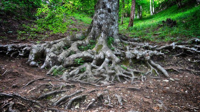 نقشه جهانی شبکه پیوند دهنده ریشه درختان تهیه شد:  کلر مارشال گزارشگر محیط زیست بیبیسی