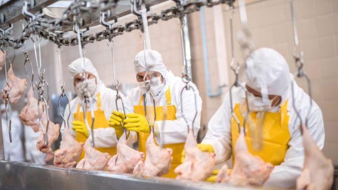 Processing chicken - stock shot