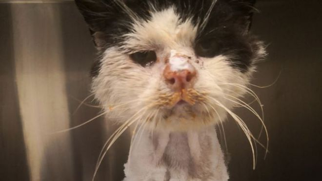 'Critical' stray cat attracts global support _110012950_maximus2
