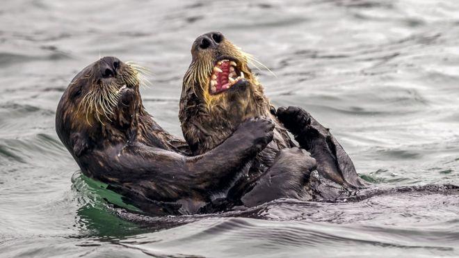 """""""Guerra de cócegas de lontras marinhas"""", de Andy Harris"""