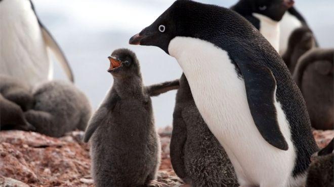 Pingüino adelaida y un polluelo