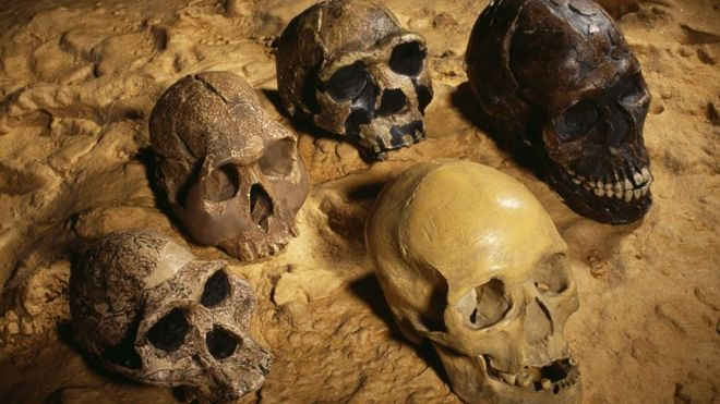 Cráneos de antiguos homínidos