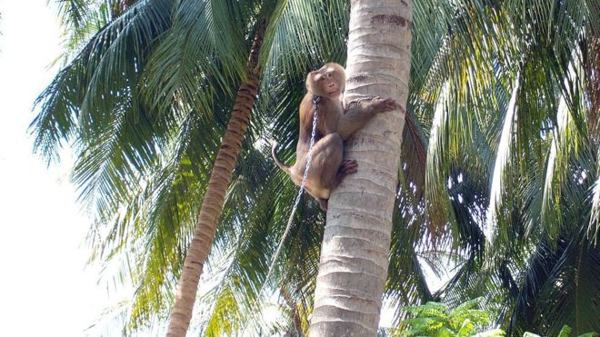 Chained monkey climbs tree
